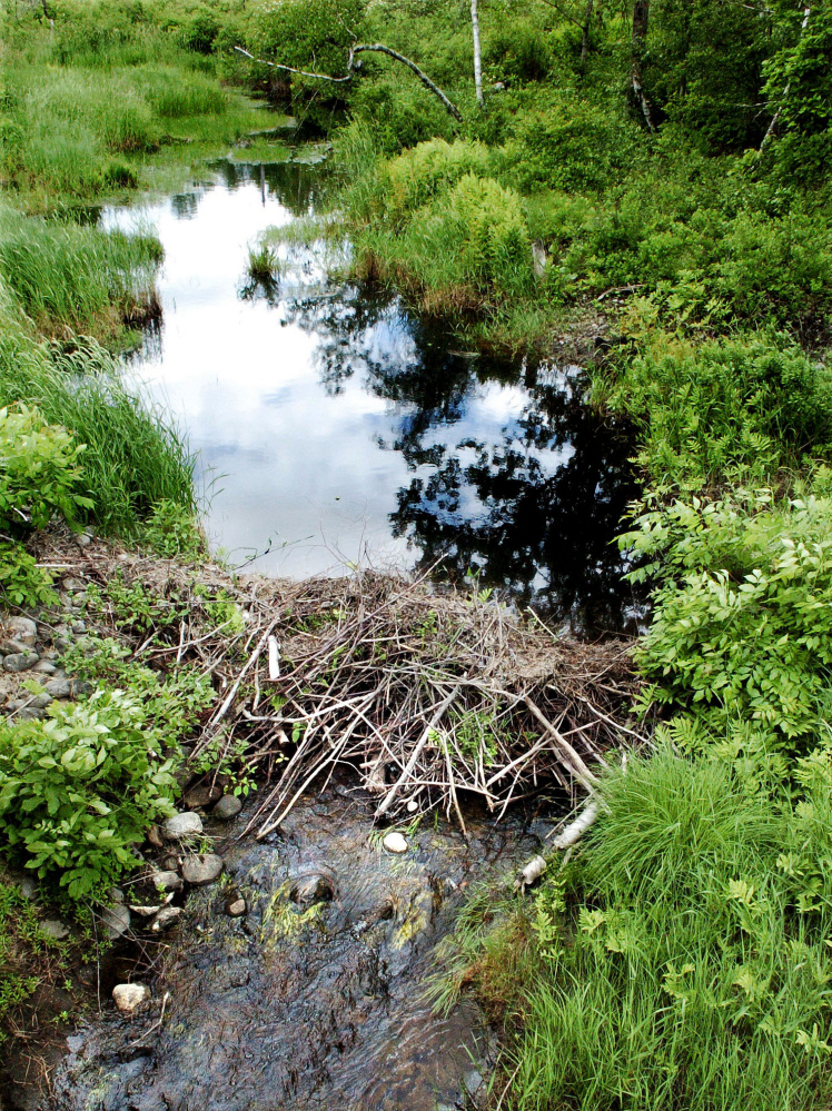 An active beaver dam on a stream that runs through the 150 acres of acquired land in Unity purchased by the Sebasticook Regional Land Trust. The property is adjacent to other land owned by the organization.