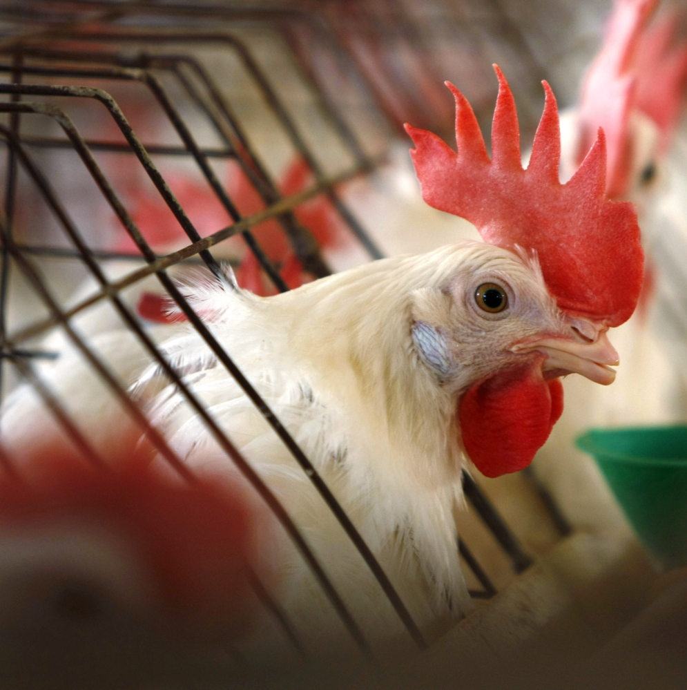 A caged hen feeds at a California egg farm. Animal rights groups have labeled the practice as cruel.
