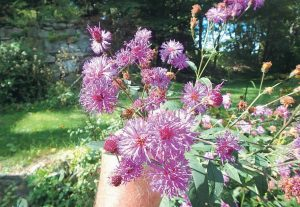 NEW YORK IRONWEED (Vernonia noveboracensis)is another tall plant in bloom now.