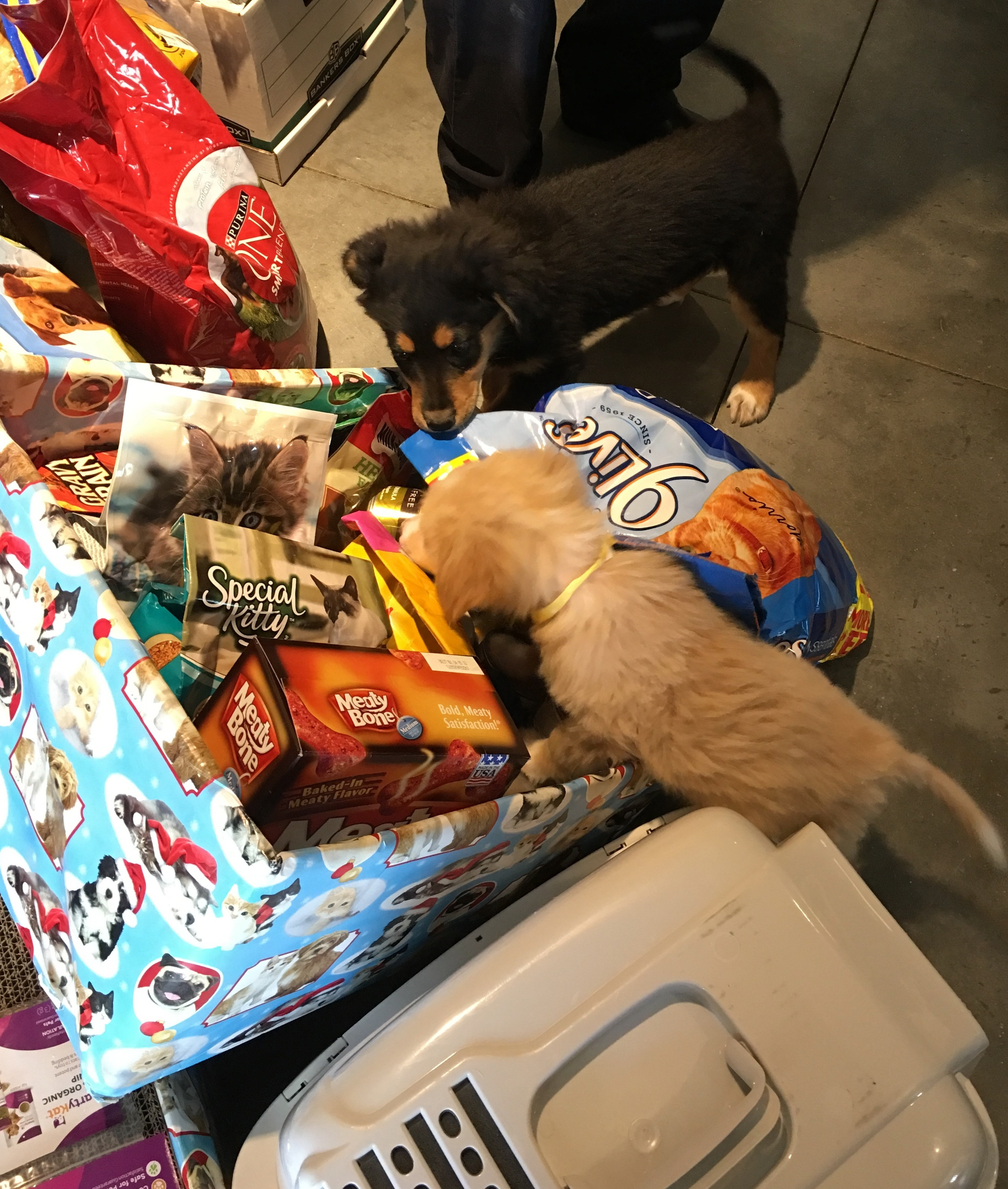 Puppies sniff at donations collected for the Animal Welfare Society by ShuttleBus-Zoom.