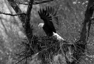 SPRING RAIN FALLS ON AN EAGLE stretching its wings while on the nest Hinsdale, N.H. In this May 2016 file photo. Audubon Society bird counters found the number of bald eagles in 2015 were double the 1995 count. Some farmers and conservationists say the resurgence of the American bald eagle has come at a price.