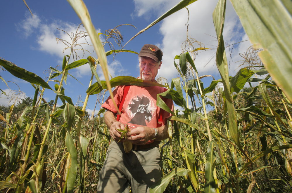 Albie Barden peels an ear of flint corn in a field at his Norridgewock farm in September.