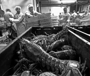 LOBSTERS ARE PROCESSED at the Sea Hag Seafood plant in St. George in this 2014 photo. Lobster lovers are shelling out even more in January 2017 for the cherished crustaceans because of a lack of catch off of New England and Canada and heavy exports to China. It has become increasingly popular to celebrate the Chinese New Year holiday with lobster, which falls on Jan. 28 this year.