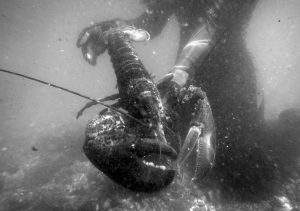 A SCIENTIST HOLDS A LOBSTER underwater on Friendship Long Island in 2007. Officials with Sweden told The Associated Press in January 2017 that their country is working on a new proposal about how to deal with American lobsters that turned up in Swedish waters. Sweden had asked the European Union in March 2016 to bar imports of live American lobsters into the 28- nation bloc after 32 American lobsters were found in Swedish waters.