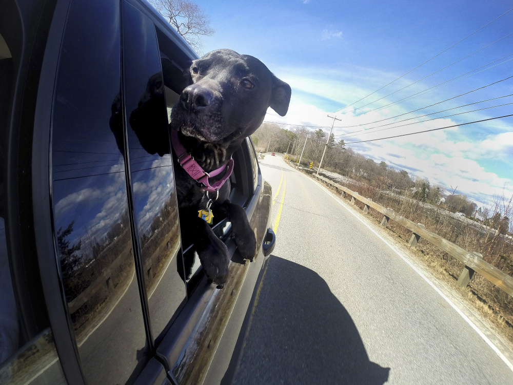 "Rep. Jim Handy, D-Lewiston, says he submitted his bill at the request of a constituent who worries about the safety of animals in vehicles, like Belle, shown in 2015. ""I think it is worthy of discussion,"" Handy said."