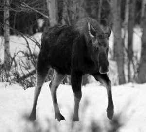 A BULL MOOSE whose antlers recently dropped walks toward hikers near Connors Bog in Anchorage, Alaska.