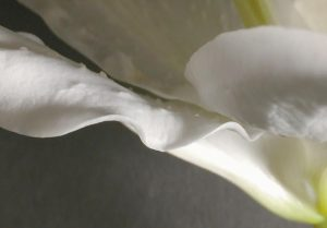 A PHOTOGRAPH of a flower by Kathryn SB Davis.