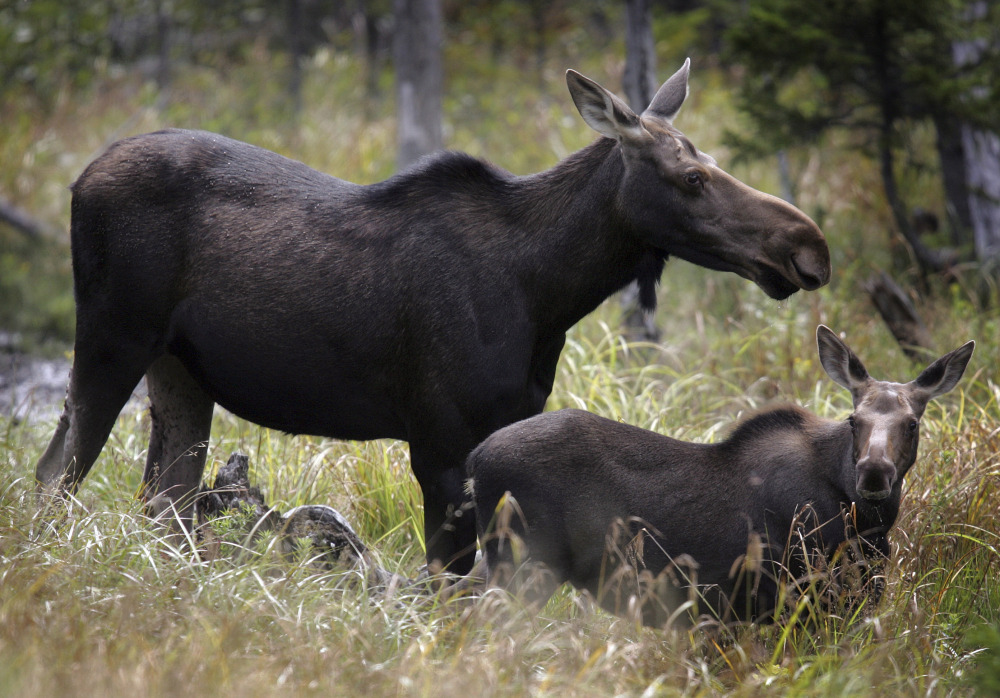 Moose are seen in Franconia, N.H., in 2010. A state commission prepares to vote Wednesday on a proposed 51 permits for the annual moose hunt, the lowest in nearly 30 years.