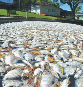 DEAD FISH CLOG the Banana River in Cocoa Beach, Florida. The river is part of the Indian River Lagoon — America's most diverse waterway. The fish kill caused by algae blooms prompted voters to approve a sales tax to raise more than $300 million over the next 10 years for cleanup efforts. Below, Bob Chew, 64, of Edgewater, Florida, left, an avid fisherman and environmentalist, and Capt. Frank Brownell, 62, fish the murky waters of Mosquito Lagoon in Florida.