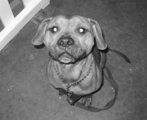 "DESMOND, a dog that was severely abused in Connecticut in 2012 by his owner, Alex Wullaert, is seen in this undated photo. Wullaert admitted to the violence but avoided jail time under a probation program for first-time offenders. Animal rights advocates, who strongly objected to the ruling, used this photo on T-shirts and posters as they pushed for better legal advocacy for abused animals. With the passage of ""Desmond's Law"" in 2016, Connecticut became the first state to allow court-appointed lawyers and law students to advocate for animals in cruelty and abuse cases."