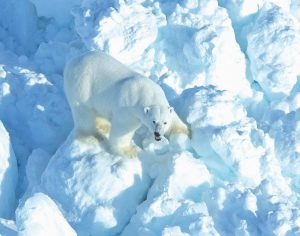 IN THIS PHOTO provided by the U.S. Geological Survey, a polar bear walks across rubble ice in the Alaska portion of the southern Beaufort Sea.