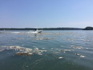 Hundreds of dead pogies are floating in and on the shores of Maquoit and Middle bays in Brunswick. SUBMITTED PHOTO