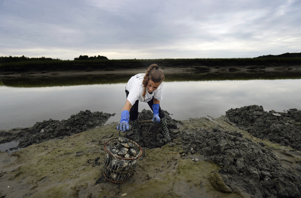 Lily Nygren 17, of Scarborough digs for clams along the Nonesuch River  last summer. The heightened predation from crabs and worms comes with rising water temperatures.