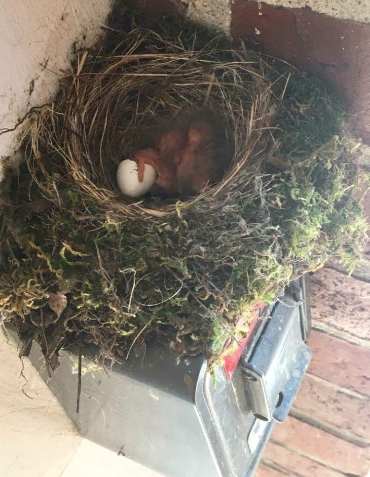 A  bird has built its nest near an employee entranceway at the Kennebunk Police Department.SUBMITTED PHOTO/Courtesy of Facebook