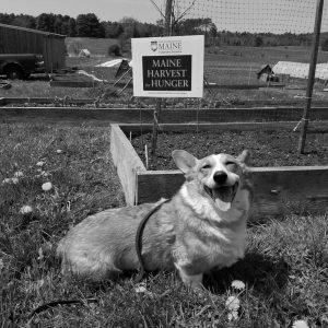 THE MORRIS FARM will be having a Corgi Walk and dog fair on Oct 14 from 9 a.m. to 1 p.m. All dogs are welcome. There will be demonstrations, stories, costume contests and two walking options. There are spaces available for people to have booths and sell dog-related items. An entry fee is being asked or people can raise pledges and donate money. Gift Certificates will be given to walkers who earn over $100, $250 and $500. The event is a fundraiser for CorgiAid, a non-profit organization that helps pay for medical costs for rescued corgis and corgi mixes. Visit www.morrisfarm.org/corgiwalk or call (207) 882- 4080 for more information.