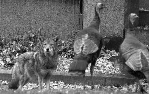 A COYOTE stares down wild turkeys in Mount Auburn Cemetery in Cambridge, Mass., in 2016. Coyotes have lived in the East since the 1930s, and recent genetic tests have shown they are actually a mixture of coyote, wolf and dog. Scientists say they might be getting genetically closer to wolves, helping them become better predators and thrive in urban areas.