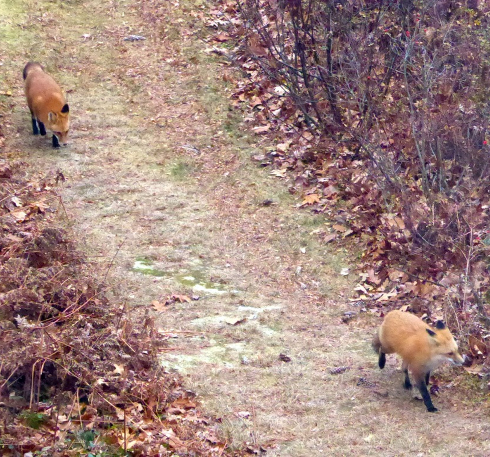 """A pair of foxes scampered on the Bridgton property of Bill Pries, and he reports, """"they are very healthy looking."""""""