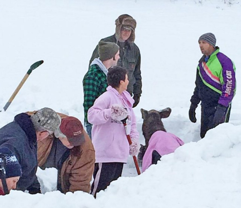 In a photo posted by Barbetta Ann Bowker Turner, passersby shovel out the baby moose in Washburn Monday.