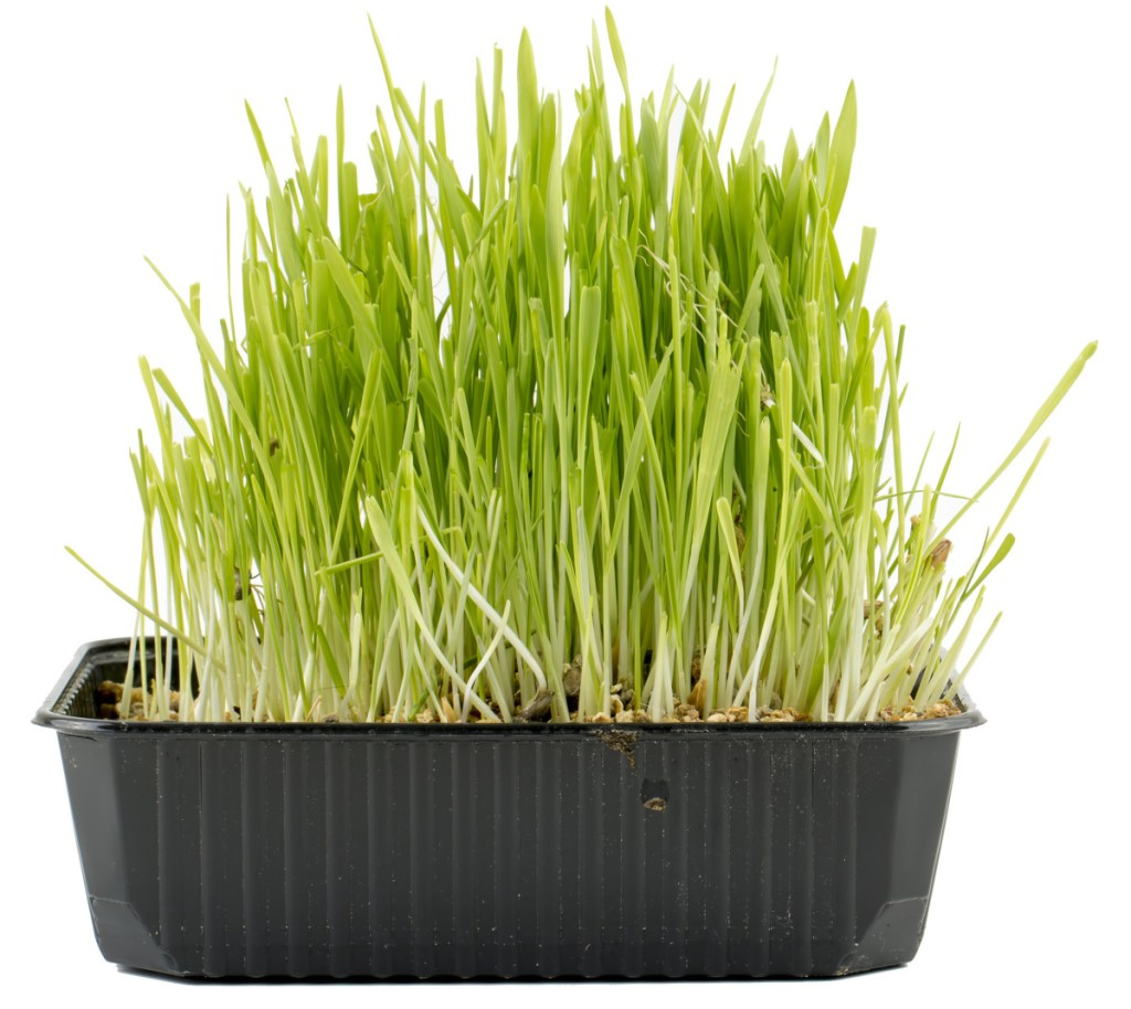 Use a heavy, shallow container for the cat grass so your pets don't topple it over while they munch.