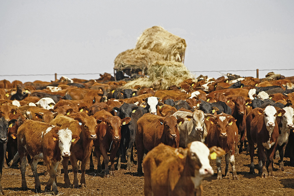 Scientist working on process to turn cow manure gas into a