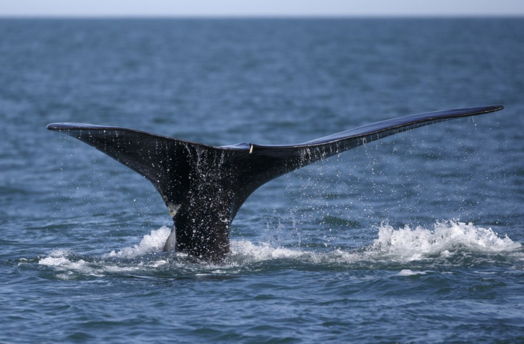 A rare whale feeds on the surface of Cape Cod Bay off Plymouth, Mass.