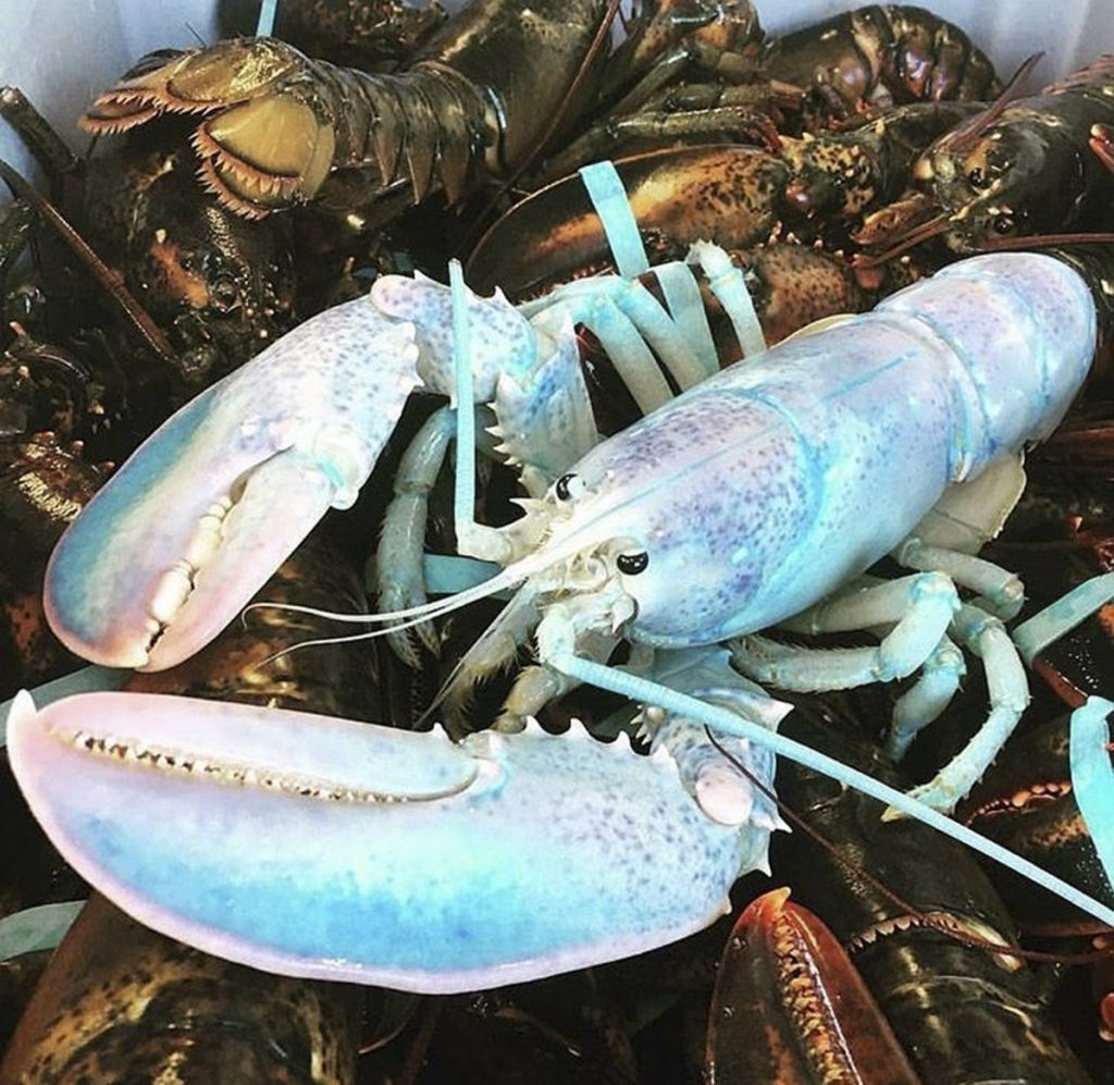 Cotton Candy Colored Lobster Escapes Pot And Ends Up In