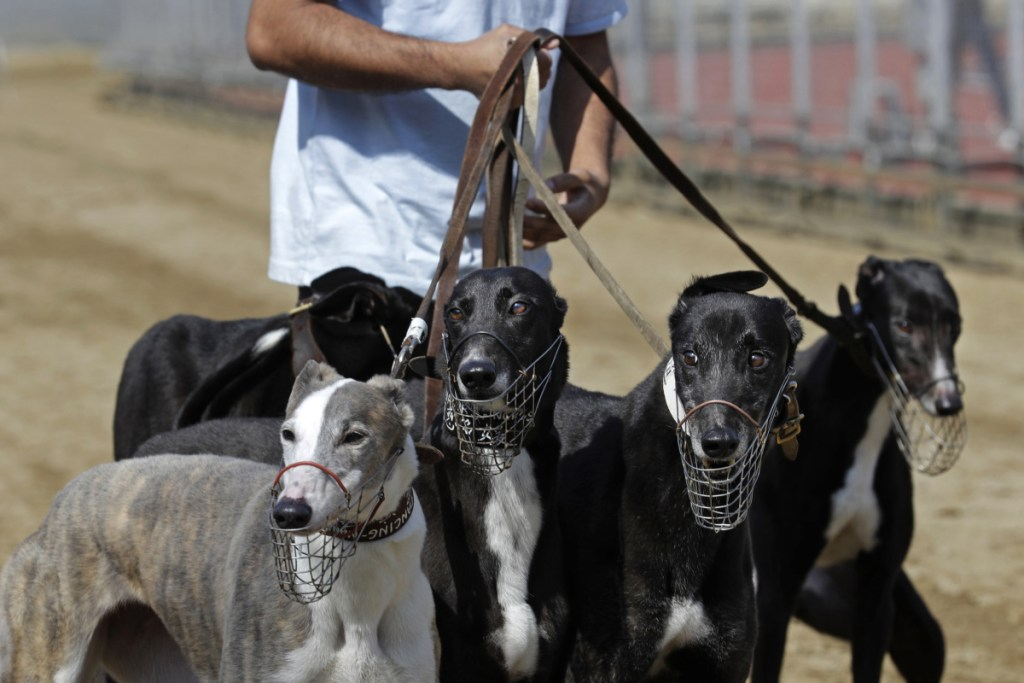A dog handler escorts greyhounds walking at the track at the Yat Yuen Canidrome in Macau.