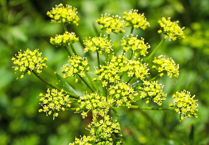 The leaves of wild parsnip resemble celery leaves and its small yellow flowers can look like Queen Anne's lace.
