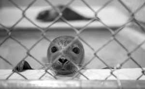 """SEAL #108, a young female pup about three months old, at the Marine Mammals of Maine rehabilitation center in Harpswell on Tuesday. The organization has responded to over 40 seals in the past three days, 37 of them dead, and 11 of them alive and they are trying to figure out the cause of the uptick in deaths. The organization's rehab center is currently full with four seals, including #108 who they rescued at the end of June, and the rest of the facilities in the Northeast are at capacity as well. """"We can't rescue an animal without a rehab spot open,"""" executive director Lynda Doughty said. """"There have been animals out there that have needed to come in, but we have to prioritize."""" BRIANNA SOUKUP /PORTLAND PRESS HERALD"""