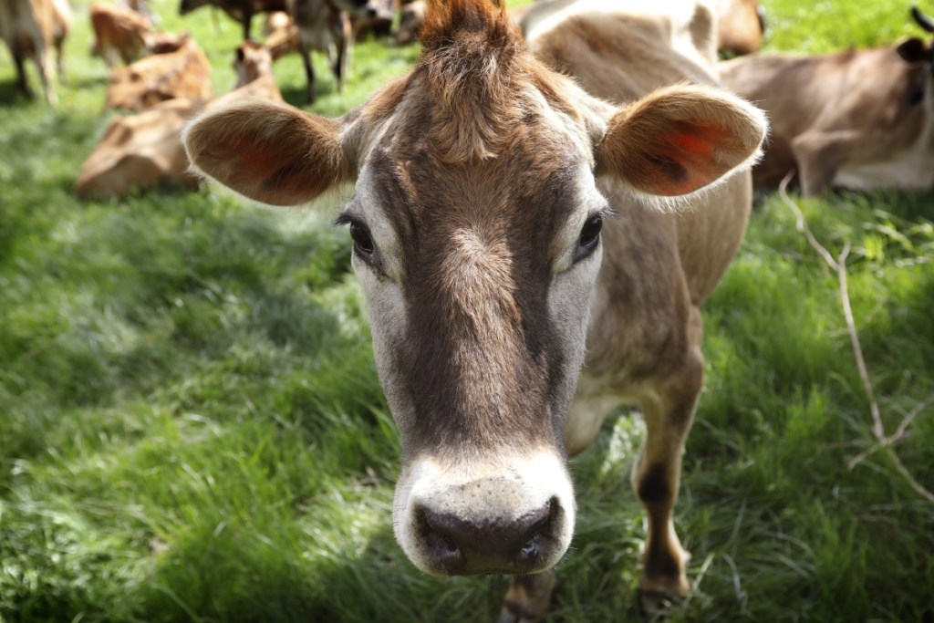 A Jersey cow feeds on Francis Thicke's organic dairy farm in Fairfield, Iowa. Thicke is working with other small farmers to create packaging that tells consumers their products meet traditional organic standards.