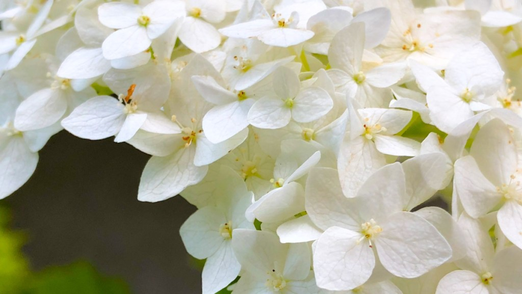 """Hydrangea arborescens """"Annabelle,' while a sterile cultivar not broadly useful to pollinators, does serve as a host for native caterpillars."""