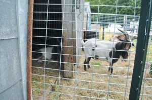 BRUNSWICK POLICE on Monday seized three goats from a condemned residence at 1024 River Road, the same location where they removed 44 dogs on Aug. 10. BRUNSWICK POLICE DEPARTMENT PHOTO