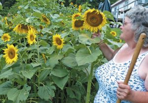 SHEILA BABCOCK of Durham stands next to her giant sunflowers at her Newell Brook Road home, some towering at between 12 and 14 feet. Babcock's sunflowers will have plenty of sun today, along with high humidity, before thunderstorms come to our area Wednesday. See the back page of this section for a complete forecast. DARCIE MOORE / THE TIMES RECORD