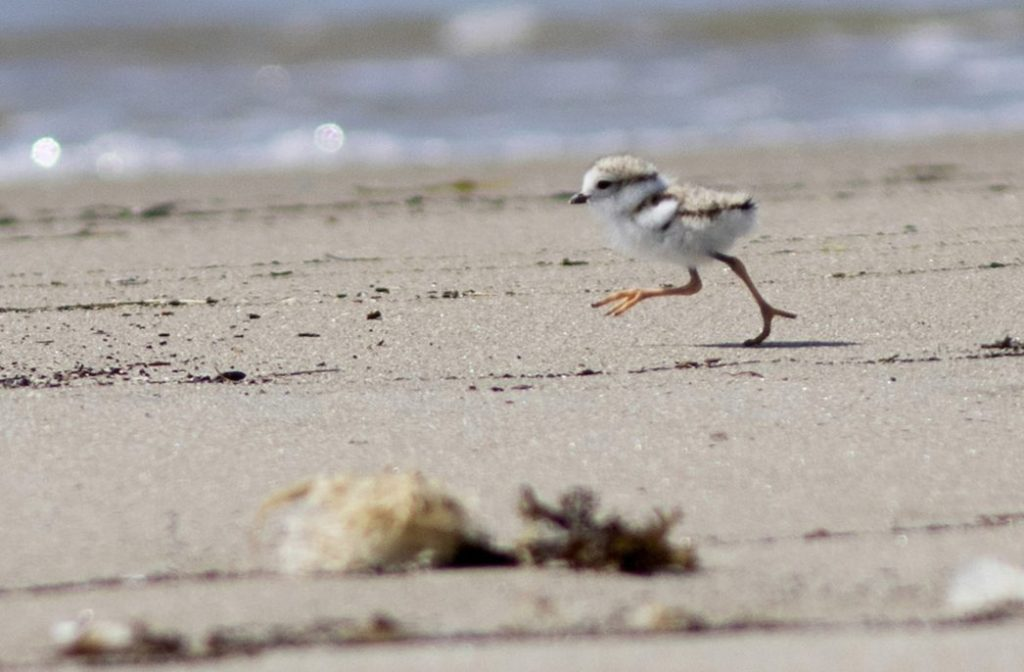 Piping plovers are flourishing on Maine's beaches and the Endangered Species Act is one reason why, a writer says.