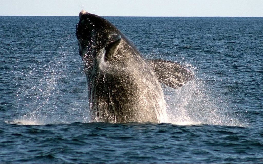 A rare right whale breaches off Boothbay Harbor.