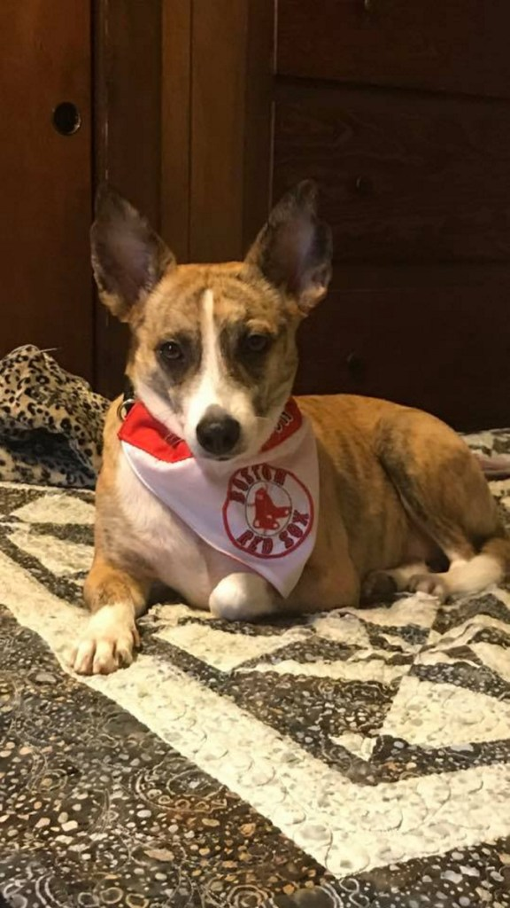 Scout, a 4-year-old terrier mix belonging to Judy Maheu, ran off during a car crash Wednesday on Interstate 95 in Waterville. Maheu said she was using a turn-around break in the median strip to turn around and thinks another car hit hers.