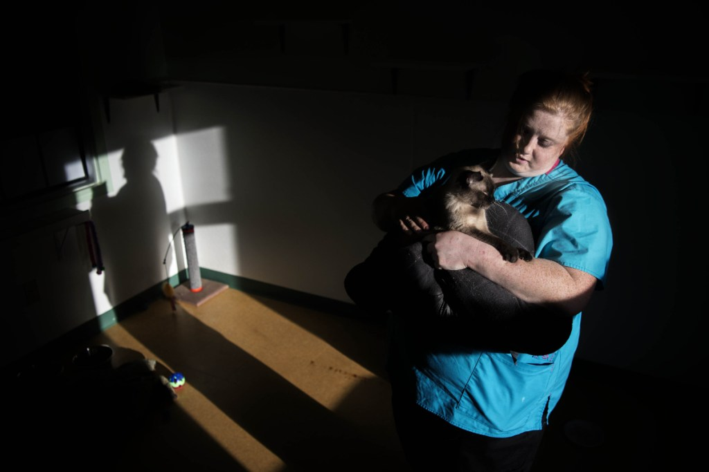 Melonie Dawers, a shelter worker, cuddles with Felicity, one of the cats found recently in an a Unity storage unit, as she prepares her for her new adopted home Saturday at the Humane Society Waterville Area shelter in Waterville. The organization held an open house that day to raise money to keep the shelter open.
