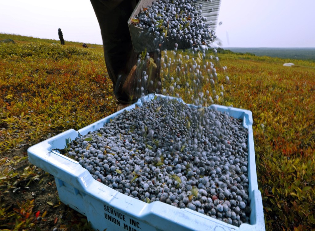 Agriculture officials say farmers collected about 57 million pounds of wild blueberries in 2018, down nearly 11 million pounds from the previous year.