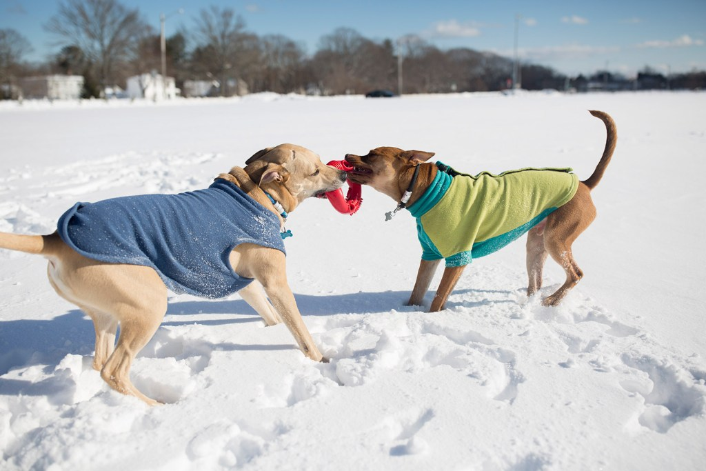 Cooper, left, and Edgar wrestle over a toy while out with Edgar's owner Stephanie Greenbaum in Payson Park in Portland on Wednesday.
