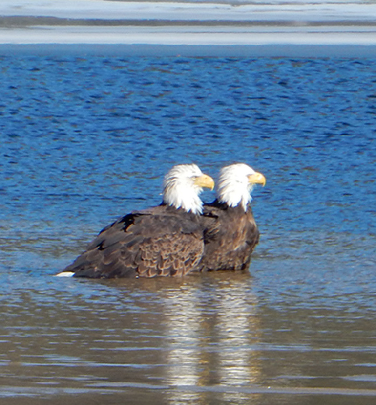 Chuck Hennessey of Windham spotted these eagles playing in the water at the lower narrows on Little Sebago Lake.