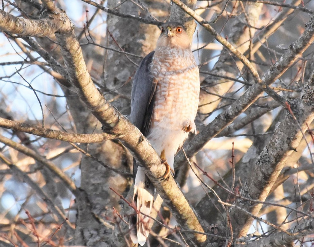 This raptor attempted to blend in, but Brian Lovering of New Gloucester spied it intently eyeing some doves hanging around his feeding station at work in South Portland.