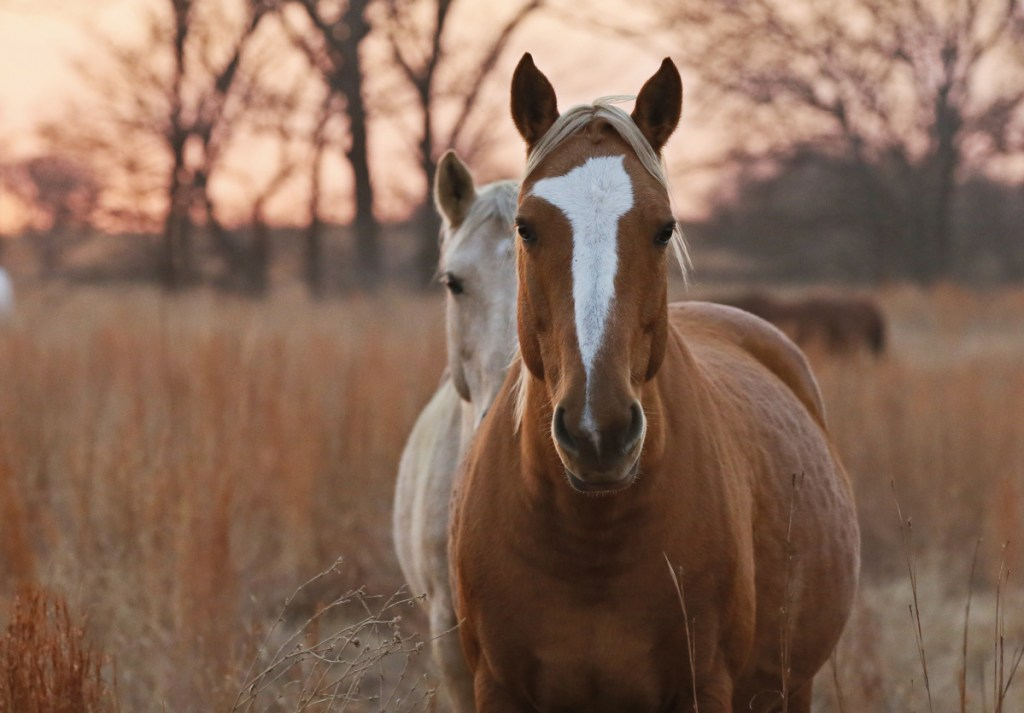 Wild horses gather in a pasture in 2017 at the Mowdy Ranch Ecosanctuary near Coalgate, Okla. Protected by the Bureau of Land Management, the horses are often made available for adoption. Stoney Brook Farm Animal Rescue in Harwinton, Conn., recently took in 17 mustangs that had been on their way to slaughter.