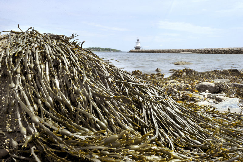 Rockweed, shown in South Portland, is used as a fertilizer and food additive, in packaging for bait and lobster, in cosmetics and as a nutritional supplement.