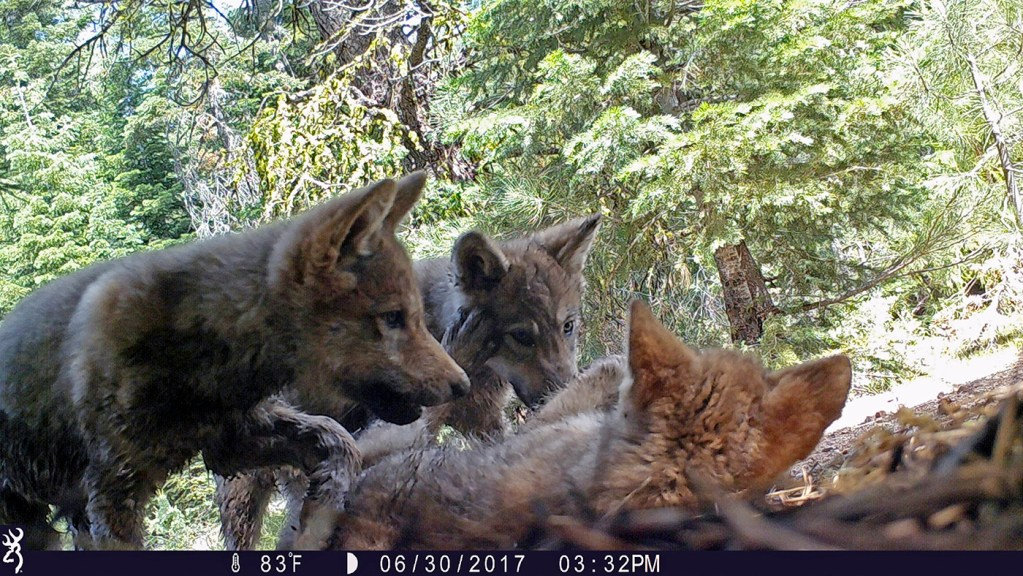 A remote camera image released by the U.S. Forest Service shows a female gray wolf and her mate with a pup born in 2017 in the wilds of Lassen National Forest in Northern California.