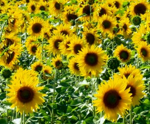 A field of sunflowers always makes me smile - and they all stand there smiling back at you!