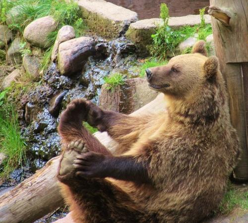 Bear at Ähtäri Zoo