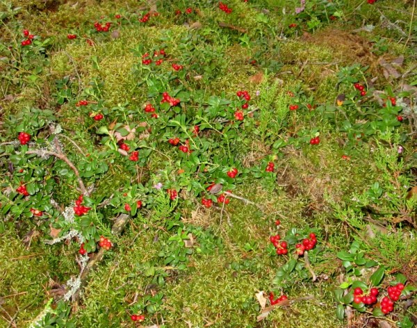 Lingonberries - Finland