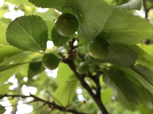 plums starting to grow