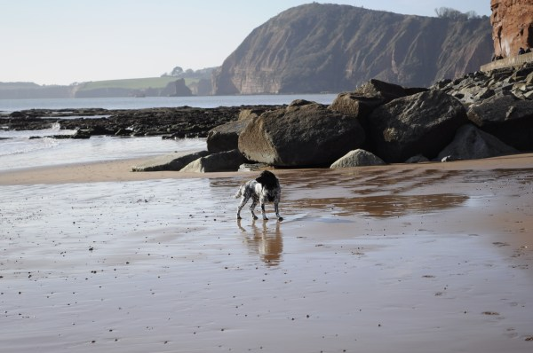 spaniel on Sidmouth beach in Devon. A Sunny Sunday walk by Mum in a nutshell