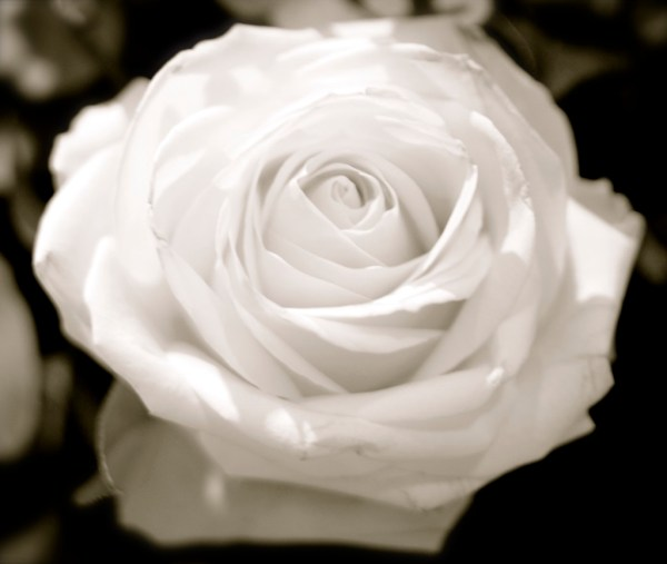 A beautiful rose for Silent Sunday on Mum in a nutshell